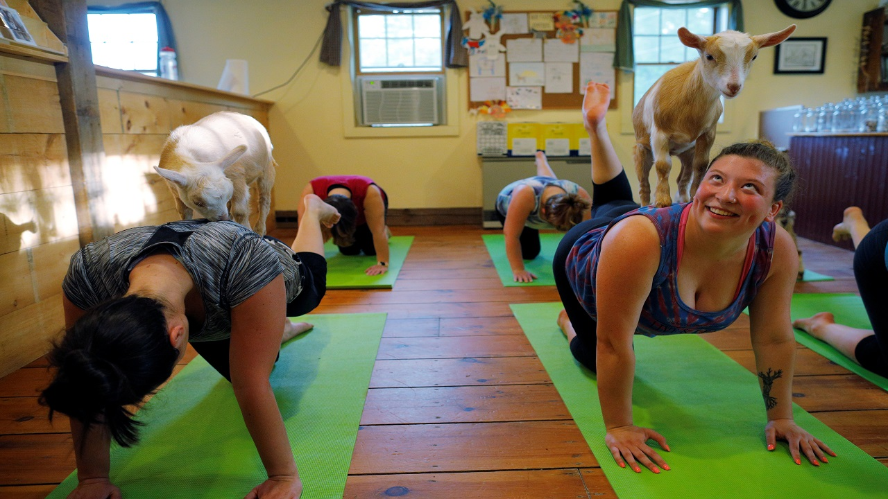 Goat yoga: The yoga uses nature and connects with the animal, all this just goes well together. (Image Source: Reuters)