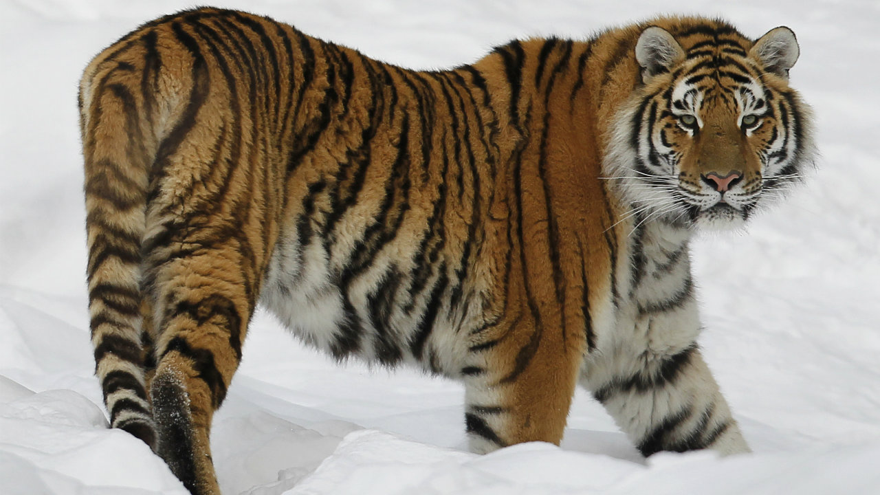 International Tiger Day was first founded at the International Tiger Summit in St. Petersburg, Russia. (Image: Reuters)
