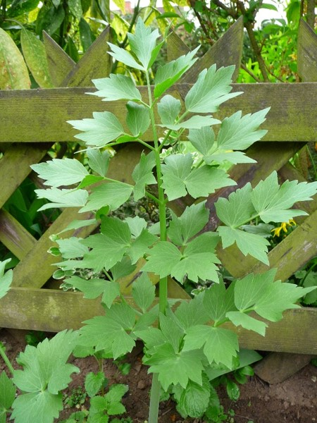 Q11. Lovage, Levisticum officinale, is a tall perennial plant, the sole species in the genus Levisticum in the family Apiaceae, subfamily Apioideae. What is this herb called in Denmark and Germany?